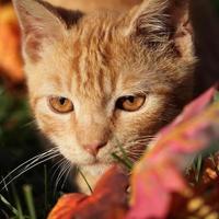 primo piano del gatto foto