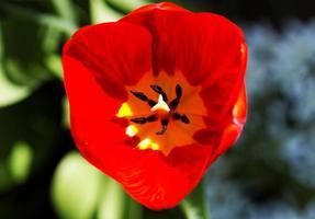 primo piano del tulipano foto