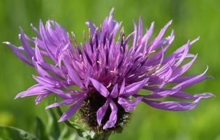 Close-up di Centaurea foto