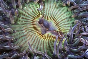 primo piano di anemone foto