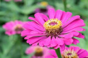 bouquet colorato di zinnie estive foto