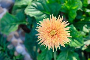 vicino fiore margherita