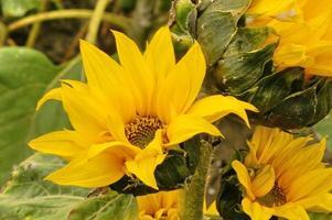 vicino fiore del sole foto