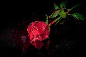 rosa da vicino foto