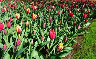 i fiori del tulipano si chiudono in su foto