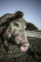 muso di maiale da vicino foto