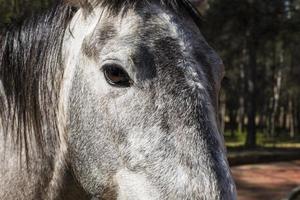 primo piano cavallo grigio foto
