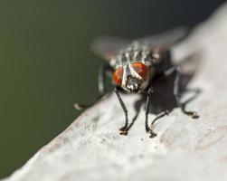 mosca domestica su una sporgenza foto