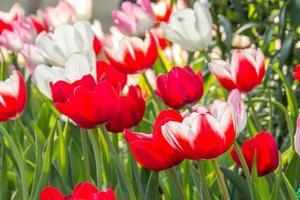 tulipani rossi e tulipano rosa foto
