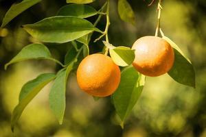 alto vicino dell'albero di arancio foto