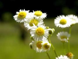 vicino fiori selvatici estivi foto