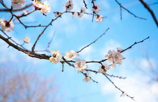 ramo fiorito di albicocca foto