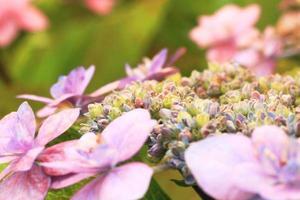 alto vicino del fiore dell'ortensia foto