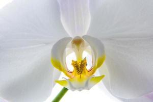 primo piano del flowerhead dell'orchidea foto