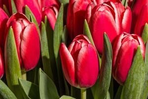 i tulipani rossi si chiudono in su foto