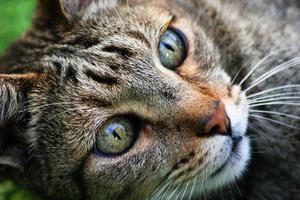 alto vicino del gatto di soriano foto
