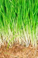 erba di grano da vicino