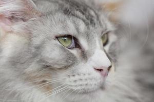 testa di gatto da vicino