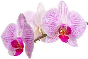 primo piano dei fiori dell'orchidea