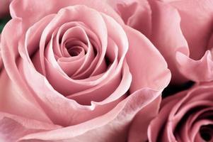 primo piano dei fiori di rosa