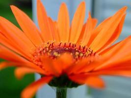 primo piano del fiore di arancia foto