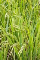campo di riso da vicino foto