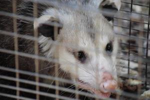 stretta di opossum foto