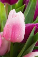tulipano rosa da vicino