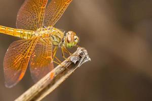 primo piano della libellula foto