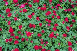 le rose rosse si chiudono in su