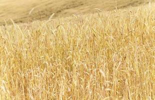 cereali maturi. avvicinamento foto