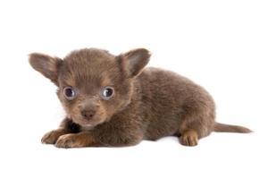 cucciolo di chihuahua marrone sdraiato foto