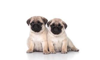 un cucciolo di due carlino su fondo bianco