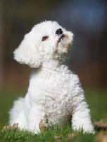 cane di Bichon Frise all'aperto nella natura foto
