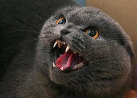 gatto arrabbiato foto