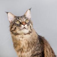 gatto di Maine Coon su grigio foto