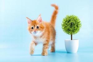 Ritratto di gatto rosso Maine Coon su sfondo blu foto