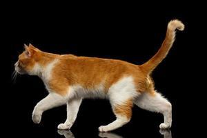 Gatto di zenzero ambulante nella vista di profilo sullo specchio nero foto
