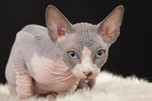 gattino sphynx foto