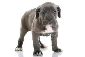 cucciolo di cane mastino italiano corso con gli occhi azzurri foto