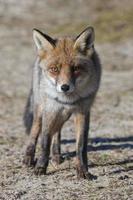 volpe rossa (amsterdamse waterleidingduinen, paesi bassi)