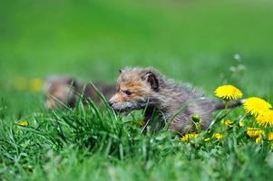 cucciolo di volpe foto