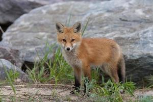 cucciolo di volpe rossa