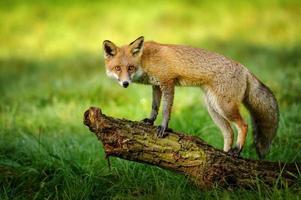 volpe rossa in piedi sul tronco d'albero