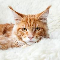gattino del procione lavatore della Maine della volpe rossa che posa sulla pelliccia bianca del fondo