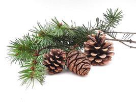 coni di conifere e rami sempreverdi