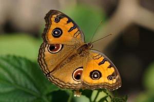 Junonia (Pansy Peacock)