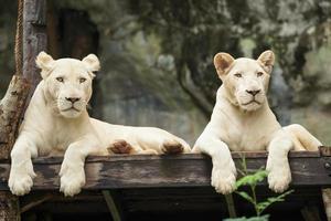 Leone bianco foto