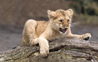 cucciolo di leone foto
