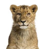 primo piano di un cucciolo di leone che esamina la macchina fotografica